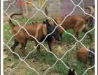 哪里有马犬小犬出售,重庆马犬价格多少,怎么训练马犬幼崽