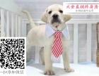 哪里的拉拉最便宜 哪里有纯种拉布拉多犬