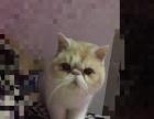 出售加菲猫一公一母
