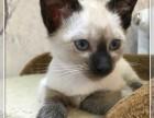 北京实体猫舍 注册猫业 出售暹罗猫 售后齐全 让您购宠无忧