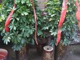 黄石鲜花店/黄石红玫瑰/开业发财树