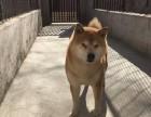 济南日系柴犬价格 济南美系柴犬价格 济南日系柴犬多少钱