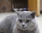 带血统英国短毛猫(蓝猫)