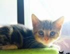 棕虎斑加白美国短毛猫美短找新家 实体店包售后疫苗
