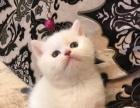 WCF注册猫舍。家养英短蓝猫弟弟,净梵弟弟,三花妹妹