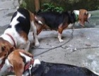 灵缇犬.格力犬.赛道犬.猎兔犬赛狗俱乐部