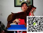 纯正的杜宾犬多少钱哪有犬舍能买到纯正的杜宾犬