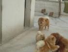 肉嘴松狮幼犬,有血统、防疫证,公母都有,健康保一年