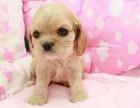 长春出售纯种英国可卡幼犬 大耳朵可卡犬幼犬 英卡活体健
