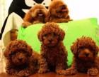 纯种泰迪犬幼犬出售 长不大棕色泰迪小狗狗公母都有