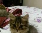 金吉拉幼猫便宜出售啦