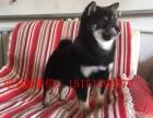 银川柴犬怎么卖的 银川日系柴犬多少钱 银川柴犬的价格