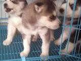 河南鄭州煙灰色哈士奇幼犬價格多少