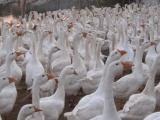 长春鹅雏批发价格,长春鹅雏孵化场-农安县金鹏白鹅孵化养殖合作社