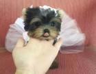 我想买只拉约克夏 约克夏幼犬在哪里买得到纯正巴哥约克夏