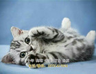 美国短毛猫美短加白起司猫猫舍直销美短虎斑猫