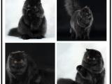 哪里有出售精品寵物波斯貓貓包純種健康送貨上門