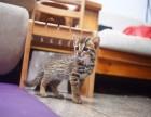 兰州哪里卖虎斑猫 哪里卖的虎斑猫便宜 兰州虎斑猫的价格是多少