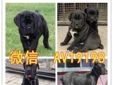 黑色骑士卡斯罗幼犬出售、看门护院、忠诚威猛