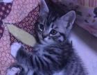 美短虎斑猫,1个半月,会用猫砂,
