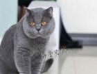 【钟爱宠物】本猫舍蓝猫幼猫出售