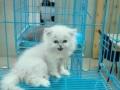 布偶猫加菲猫金吉拉银渐层蓝猫家养现货种猫幼猫五十只可选