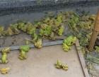 枝江市汇泽生态养殖黑斑蛙