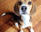 米格鲁猎兔犬比格犬 短毛犬 大眼睛可爱迷人