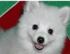 出售高品质银狐犬幼犬 品相好 做好疫苗和驱虫 保证 3个月/