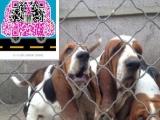 纯种巴吉度 疫苗驱虫已做 可上门看狗 健康纯种有保