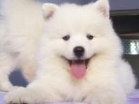 成都出售純種微笑天薩摩耶純種薩摩耶幼犬雪橇犬活