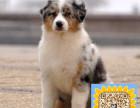 精品纯种苏格兰牧羊犬,优选培育强健幼犬,确保健康