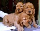 上海出售宠物狗 可卡幼犬 纯种健康 签协议