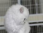 超萌纯种金吉拉/幼猫,大眼睛,绿眼 蓝眼 纯种