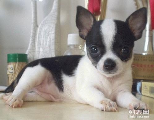 精品小体吉娃娃幼犬纯种健康可以签订协议