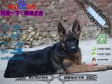 宠物店和狗市里的德国牧羊犬黑背可以买吗 健康的多少钱一只