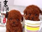 郑州有卖茶杯体泰迪的吗
