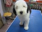 天津哪里有古牧出售 天津犬舍诚信出售古代牧羊犬 纯种健康