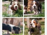 新年特惠巴吉度猎犬公母都有多窝可选随时可以上门挑选质保