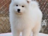 重庆里出售萨摩耶犬 重庆哪家宠物店信誉好