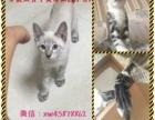 美短加白.,暹罗猫