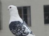 辽宁沈阳出售各种观赏鸽