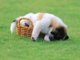 大同泰迪幼犬出售 纯种双血统赛级品质