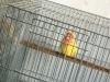 黄桃牡丹鹦鹉