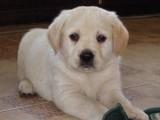 最佳伴侣犬拉布拉多专业繁殖品质保证实物拍摄
