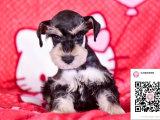 哪里有卖雪纳瑞犬 出售纯种雪纳瑞犬犬舍在哪里
