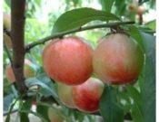 陕西中油5油桃产地油桃价格46-28油桃行情518油桃基地