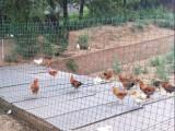 广东河源圈地围栏养鸡铁丝网多少钱一卷荷兰网浸塑电焊网养殖网