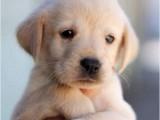 广州本犬舍常年出售高品宠物犬幼犬