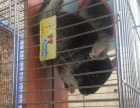 丝绒黑龙猫出售很可爱